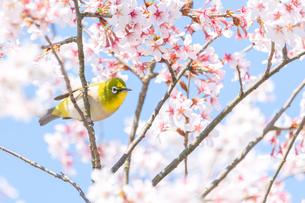 桜の木にとまって右を向いているメジロの写真素材 [FYI04119885]