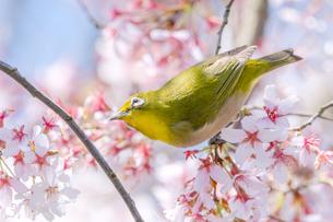 桜の木にとまって上を向いているメジロの写真素材 [FYI04119886]