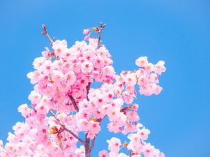 青空の下の桜の花の写真素材 [FYI04119888]