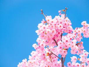 【春】青空の下のソメイヨシノの桜の木の写真素材 [FYI04119889]