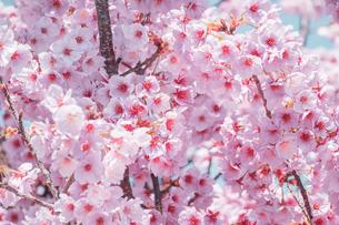 【春】青空の下のソメイヨシノの桜の木の写真素材 [FYI04119890]