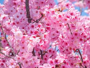 青空の下の桜の花の写真素材 [FYI04119891]
