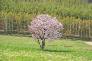 御料(ごりょう)の一本桜の写真素材 [FYI04119952]