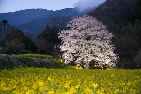 淡墨桜と菜の花畑の写真素材 [FYI04119971]