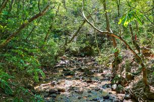 西表島のジャングルの写真素材 [FYI04120113]