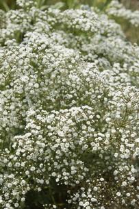 白い花の写真素材 [FYI04120163]