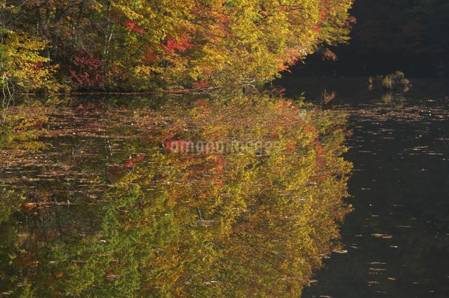 曲沢沼の紅葉の写真素材 [FYI04120212]