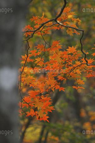 紅葉の写真素材 [FYI04120214]