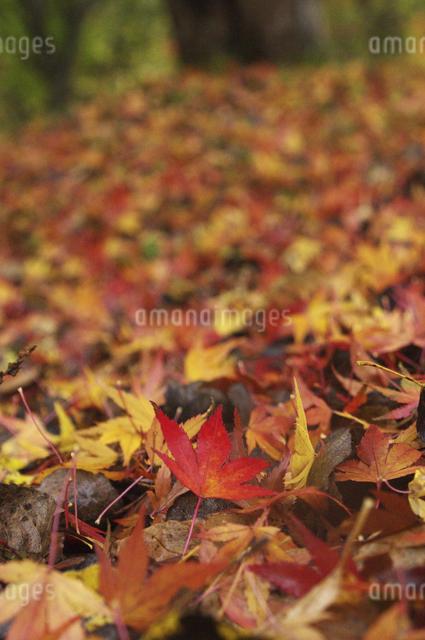 モミジの絨毯の写真素材 [FYI04120229]