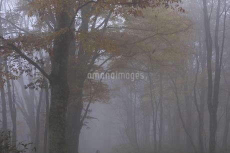 ブナ林の写真素材 [FYI04120242]