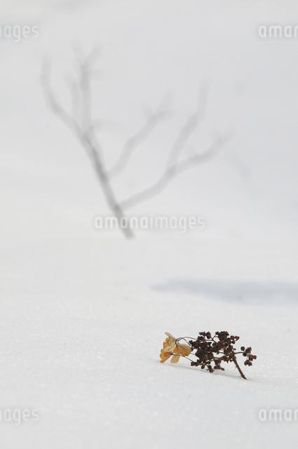 ツルアジサイと雪の写真素材 [FYI04120262]