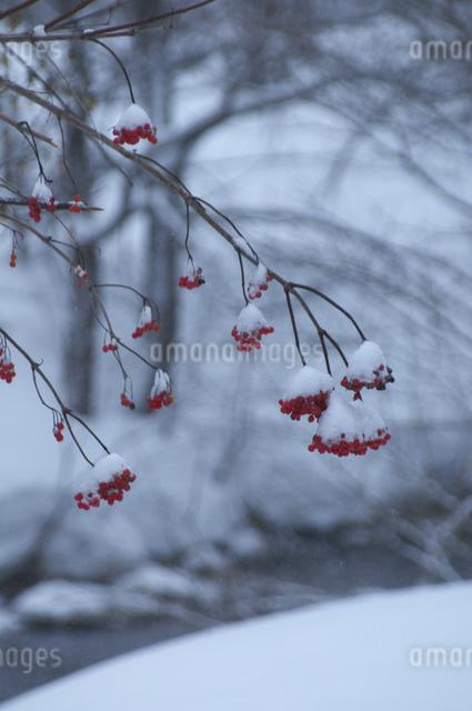 ナナカマドと雪の写真素材 [FYI04120279]