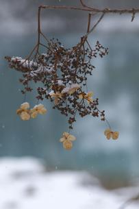 青沼とツルアジサイの写真素材 [FYI04120314]