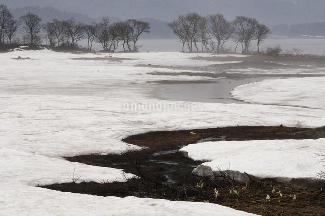 雪融けと水芭蕉の写真素材 [FYI04120334]