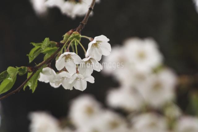 桜の写真素材 [FYI04120336]