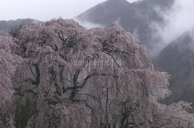 しだれ桜の写真素材 [FYI04120338]