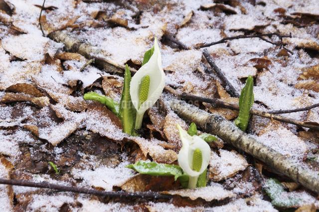 水芭蕉と雪の写真素材 [FYI04120339]