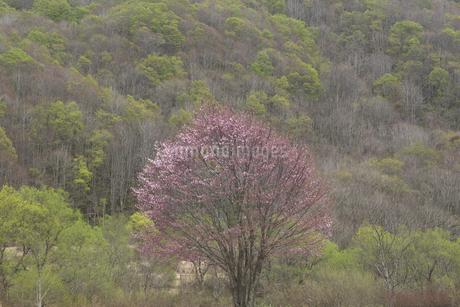 山桜の写真素材 [FYI04120345]