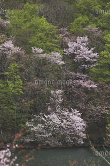山桜の写真素材 [FYI04120352]