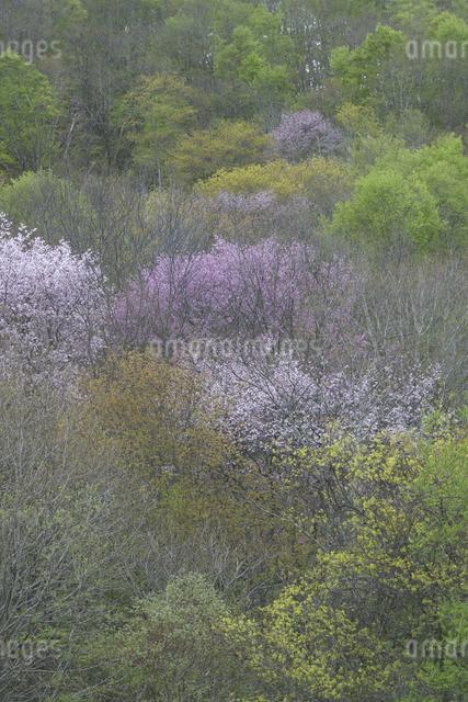 山桜と新緑の写真素材 [FYI04120357]