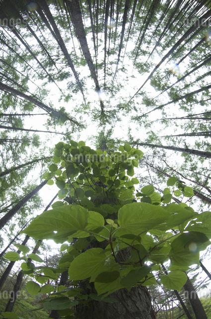 カラマツ林とツタの写真素材 [FYI04120376]