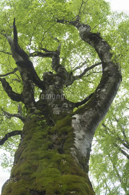ブナの新緑の写真素材 [FYI04120379]