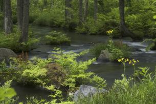 長瀬川とサワオグルマソウの写真素材 [FYI04120399]
