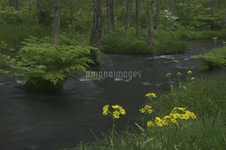 長瀬川とサワオグルマソウの写真素材 [FYI04120400]