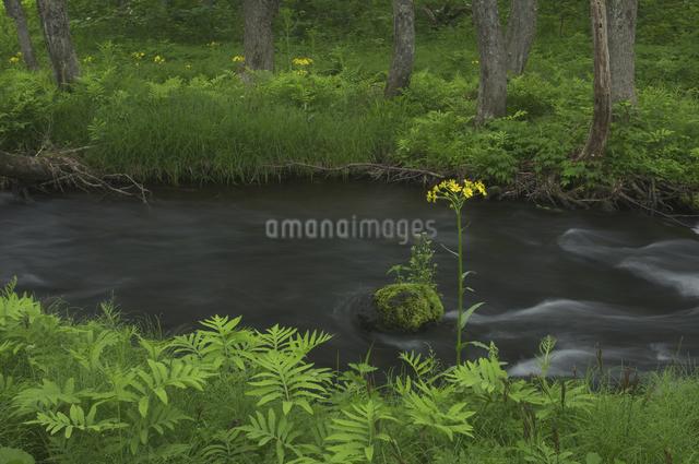 長瀬川とサワオグルマソウの写真素材 [FYI04120401]