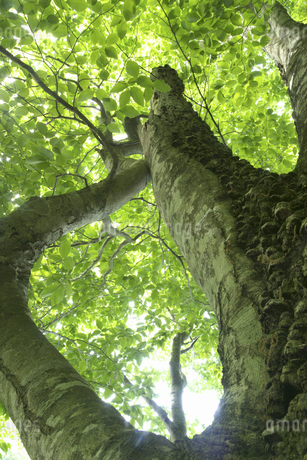 ブナの木の写真素材 [FYI04120410]