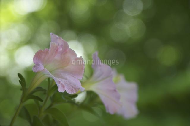 ピンクの花と光の写真素材 [FYI04120414]
