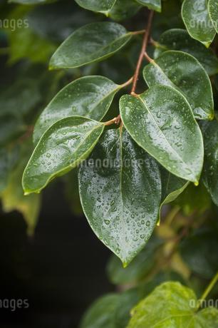雨だれの写真素材 [FYI04120736]