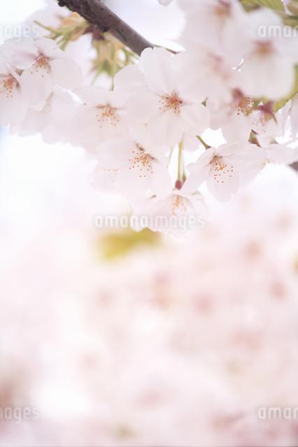 桜の写真素材 [FYI04120757]