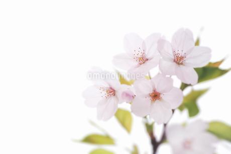 桜の写真素材 [FYI04120758]