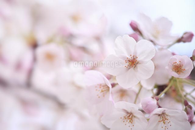 桜の写真素材 [FYI04120759]
