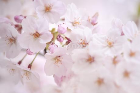 桜の写真素材 [FYI04120762]