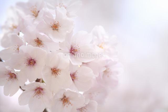 桜の写真素材 [FYI04120765]