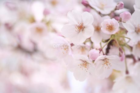 桜の写真素材 [FYI04120766]