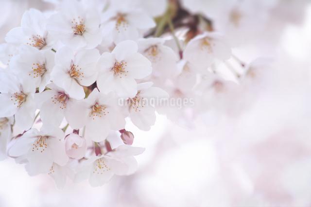 桜の写真素材 [FYI04120767]