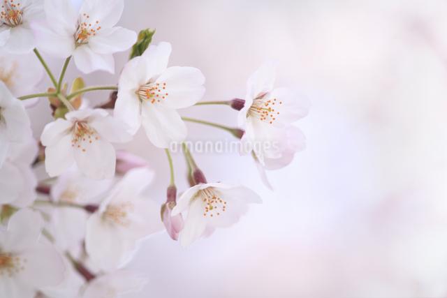 桜の写真素材 [FYI04120768]