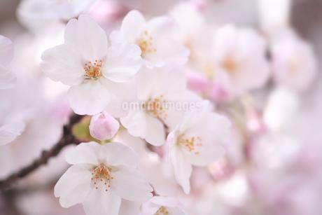 桜の写真素材 [FYI04120770]