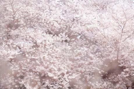桜の写真素材 [FYI04120777]