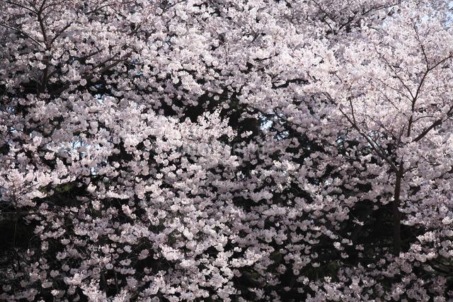 桜の写真素材 [FYI04120778]