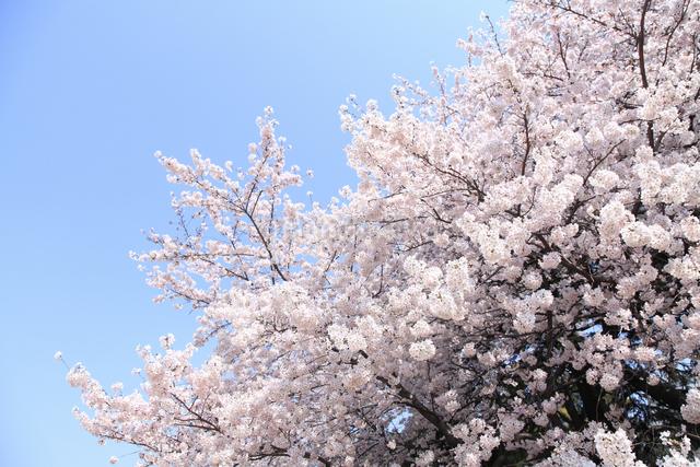 桜の写真素材 [FYI04120780]