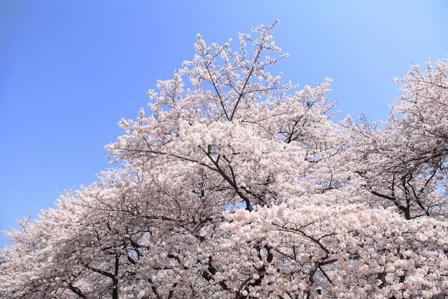 桜の写真素材 [FYI04120781]