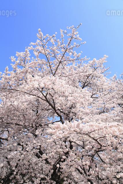 桜の写真素材 [FYI04120782]