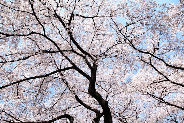 桜の写真素材 [FYI04120783]