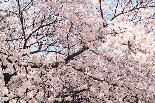 桜の写真素材 [FYI04120787]