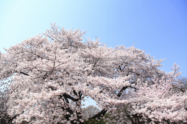 桜の写真素材 [FYI04120790]