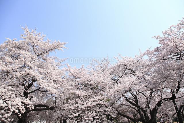 桜の写真素材 [FYI04120791]